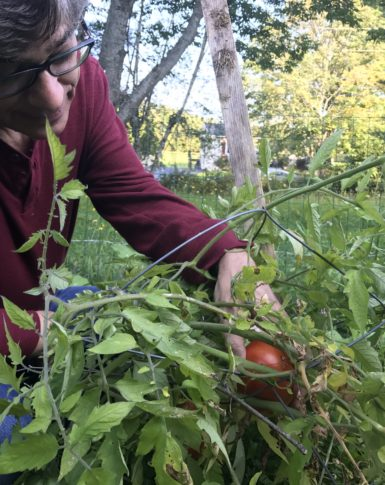 Tomatoes from our garden in Montpelier, Vermont